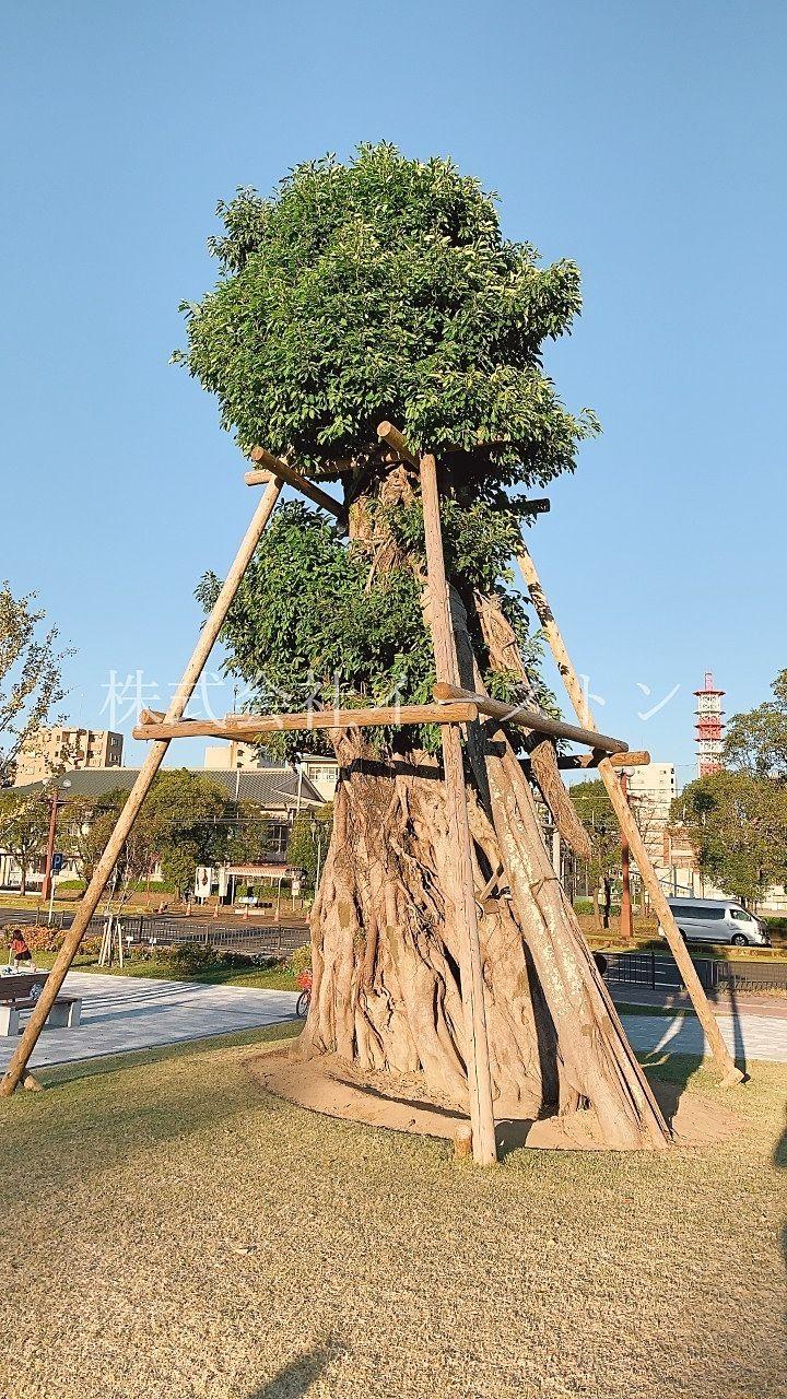 鹿児島市加治屋町、市立病院跡地にできた加治屋まち杜公園のシンボルツリー